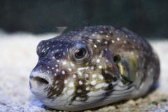Pufferfish's face Royalty Free Stock Images