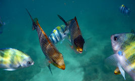 Pufferfish and sergeant major Royalty Free Stock Image