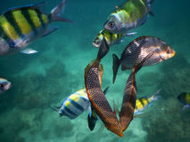 Pufferfish and sergeant major tropical fish  Royalty Free Stock Images