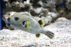Pufferfish swimming in an aquarium royalty free stock images