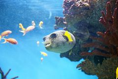 Pufferfish. A pufferfish is swimming in the submarine water Royalty Free Stock Image