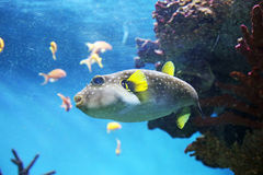 Pufferfish. A pufferfish is swimming in the submarine water Royalty Free Stock Photos