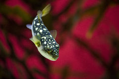 Pufferfish tegen rode achtergrond royalty-vrije stock foto