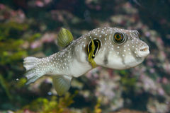 Pufferfish (Tetraodontidae) Images libres de droits
