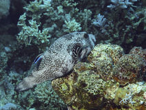 Pufferfish. V 9 PAR EXEMPLE. 0918 Photographie stock