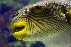 Pufferfishcloseup arkivbild