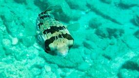 Pufferfisk Arkivbilder
