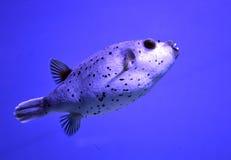 Pufferfisken simmar i havsdjupet Royaltyfri Fotografi