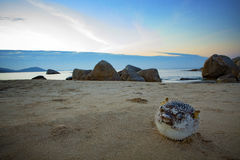 Puffers, Sunfishes dead on sea beach Stock Photography