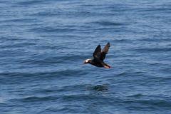 Puffin που πετά πέρα από το νερό στοκ φωτογραφίες