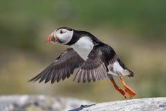 Puffin που τρέπεται σε φυγή, νησιά Farne, Σκωτία Στοκ φωτογραφία με δικαίωμα ελεύθερης χρήσης