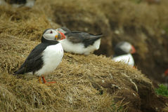 Puffin. S are any of three small species of auk (or alcids) in the bird genus Fratercula with a brightly coloured beak in the breeding season. These are pelagic royalty free stock photos