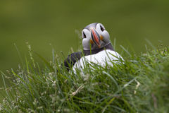Puffin Royalty Free Stock Images