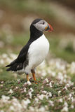 Puffin Royalty Free Stock Image
