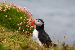 Puffin. And sea thrift on cliff edge Royalty Free Stock Images