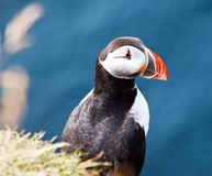 Puffin. North puffin on blue background in West Iceland Royalty Free Stock Photography
