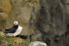 Puffin. Atlantic puffin on a rock looking straight into the camera Royalty Free Stock Photo