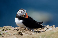 Puffin. Atlantic Puffin on Skomer Island Royalty Free Stock Photography
