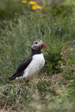 Puffin. Nice puffin from the Iceland Stock Images