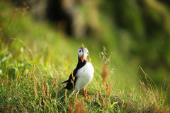 Puffin. Standing on a grassy cliff Stock Photos