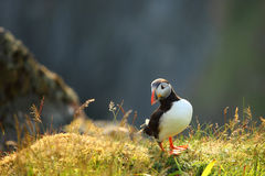 Puffin. On a cliff, Norway Stock Photography