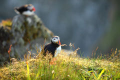 Puffin. On a cliff, Norway Royalty Free Stock Images