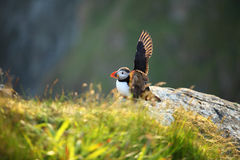 Puffin. On a cliff, Norway Royalty Free Stock Photography