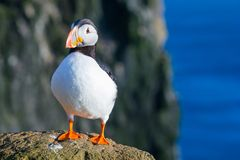 Puffin. Standing on a grassy cliff, sea as background, Latrabjarg north Iceland Royalty Free Stock Photos
