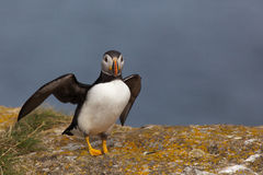puffin Imagens de Stock Royalty Free