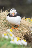 puffin immagine stock
