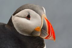 puffin Royalty-vrije Stock Afbeelding