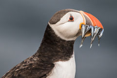 puffin image stock