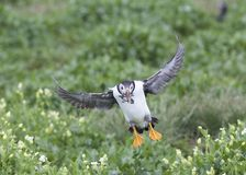 puffin Stock Fotografie