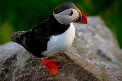 puffin Royaltyfri Bild