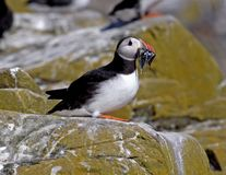 Puffin. With sand ells royalty free stock photos