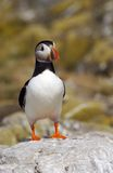 Puffin. A Puffin Stock Photos