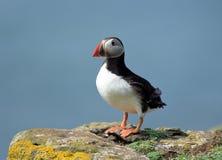 Puffin. In coastline of Scotland island Stock Photography