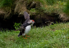 Puffin. Aka bird from Iceland with fish Royalty Free Stock Images