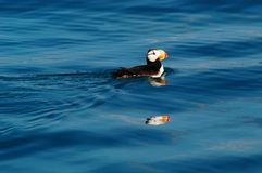 Puffin in Alaska. I took this picture off my uncle's fishing boat on a beautiful day on a calm sea off Anchorage Royalty Free Stock Image
