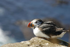 Puffin alone Royalty Free Stock Photos