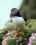 Puffin amid seapinks Stock Photography
