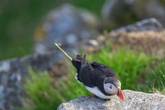 Puffin as shitting. Out from the cliff edge Royalty Free Stock Photos