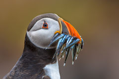 Puffin with beak full of eels