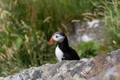 Puffin behind a rock Royalty Free Stock Images