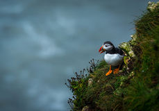 A Puffin at bempton Cliffs, Yorkshire , UK Royalty Free Stock Photo