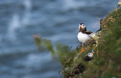 A Puffin at bempton Cliffs, Yorkshire , UK Royalty Free Stock Images