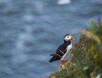 A Puffin at bempton Cliffs, Yorkshire , UK Stock Photo
