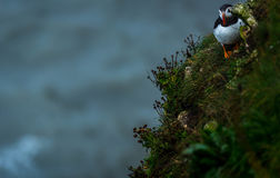 A Puffin at bempton Cliffs, Yorkshire , UK Stock Photography