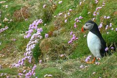 Puffin, The bird with the Colored Beak. Puffins are among the cutest birds on this planet, typical of the cold areas of the northern hemisphere, the populate the stock photo