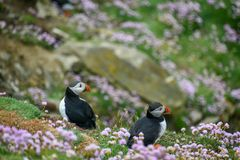 Puffin, The bird with the Colored Beak. Puffins are among the cutest birds on this planet, typical of the cold areas of the northern hemisphere, the populate the royalty free stock image